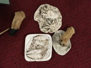 Here are some examples of animal 'feet' and the tracks they make in plaster cast form.